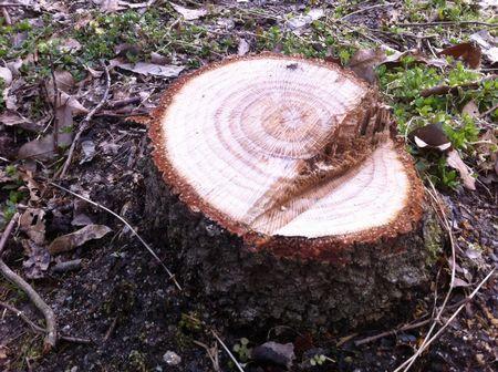 自分が植えた樹の切り株の年輪